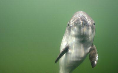 Schweinswale- Der kleine Wal und sein Turbohirn